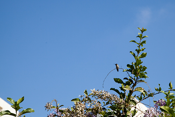Anna's Hummingbird in the Getty Center gardens