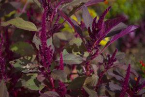 Amaranth in the Getty Salad Garden